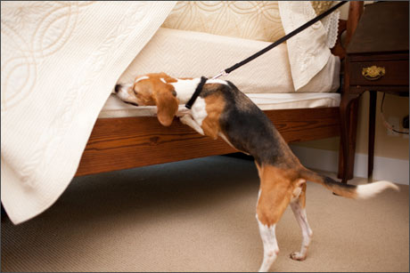 Preferred Pest Control, bed bug, beagle