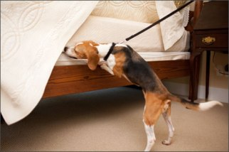 Preferred Pest Control, bed bug, beagle