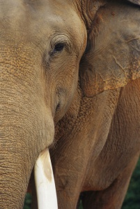 Elephant-national-geographic-6902086-369-550