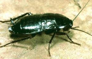 adultorientalcockroach