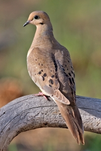 Mourning Dove, Cabin Lake Viewing Blinds, Deschutes National Forest, Near Fort Rock, Oregon